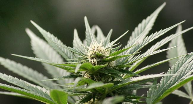 Cigarette électronique et cannabis