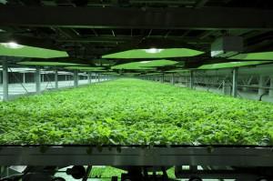 Des plants de tabac génétiquement modifiés ici en culture dans une serre de l'Owensboro.